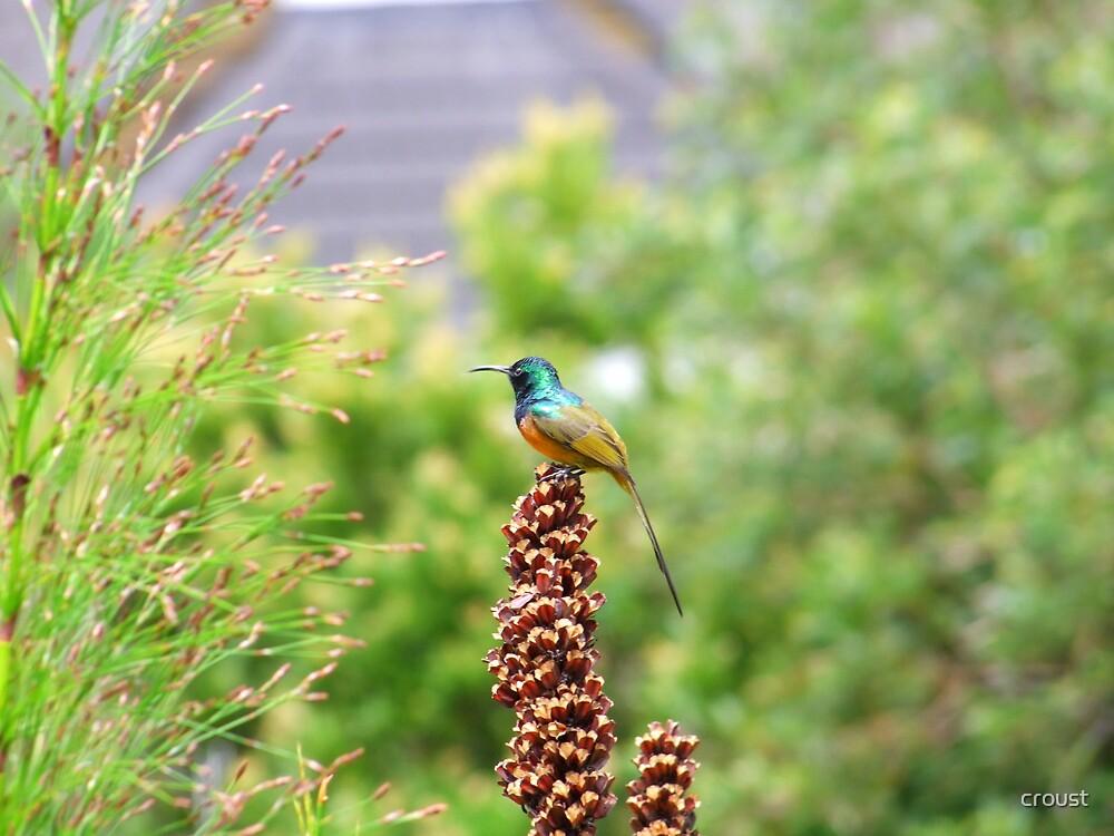 Orange-breasted Sunbird by croust