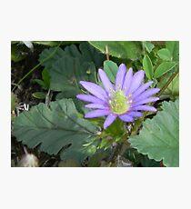 Brilliant Purple Ten-Petal Anemone, or Windflower Photographic Print