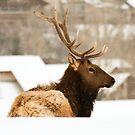 Snow Elk 4 by jeff welton