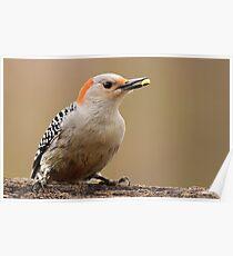 Female Red Bellied Woodpecker Poster