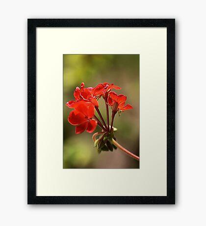 Geraniums Framed Print