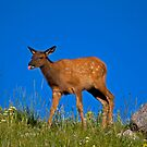 Calf elk3 by jeff welton