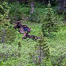 Four bulls Moose by jeff welton