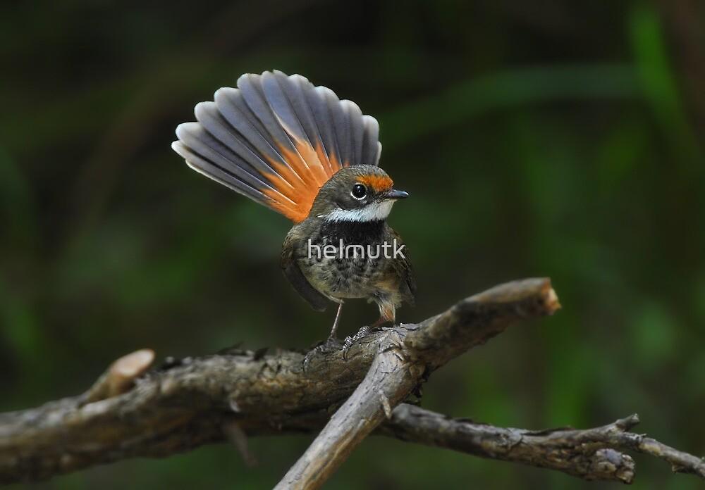 Rufous Fantail by helmutk