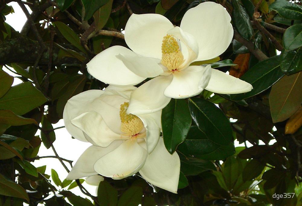 Magnolia blossom by dge357