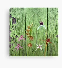 Cerise Spider Orchid on Green Painted Wall, native orchids of Western Australia. Canvas Print