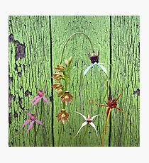 Cerise Spider Orchid on Green Painted Wall, native orchids of Western Australia. Photographic Print