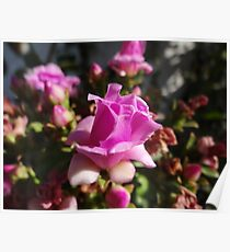 Like A Little Rose - Como Una Rosa Pequeña Poster