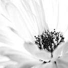 Calendula Dream by Paul-M-W