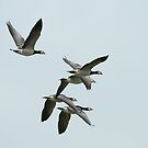 Barnicle Geese In Flight by Robert Abraham