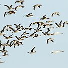Greylag Geese, Cormorant and Mute Swans by Robert Abraham