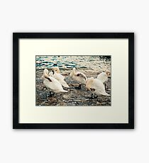 Lake Zurich Swans Framed Print