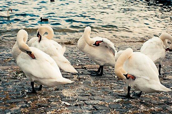 Lake Zurich Swans by Hugh O'Brien