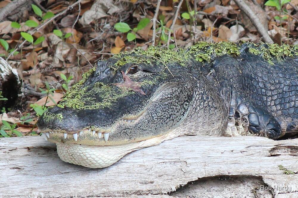 Hidden Gator by Bob Hardy