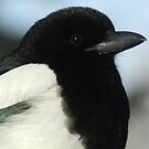 Black-billed Magpie by Darcy Overland