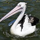 Pelican  by Tammy Howe