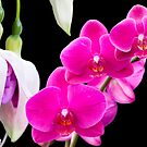 Fuchsias and Orchids  by Ray Clarke