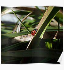 Scarce 7-spot ladybird Poster