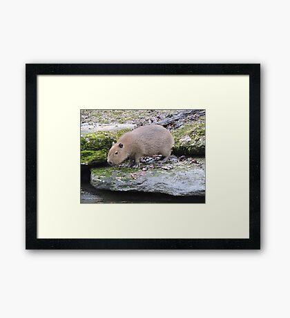 Baby Capybara Framed Print