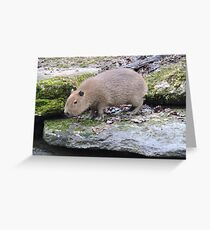 Baby Capybara Greeting Card