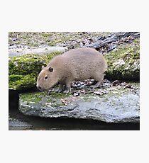 Baby Capybara Photographic Print