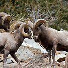 BigHorn Sheep 2 by jeff welton