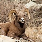 Bighorn Sheep 10 by jeff welton