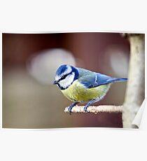 Blue Tit (Parus caeruleus). Poster