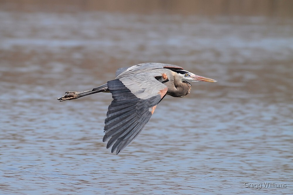 The Great Blue Heron by Gregg Williams
