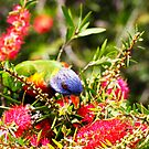 Rainbow Lorikeet feeding by Chris Brunton