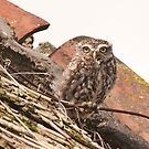 Owl by Willem Hoekstra