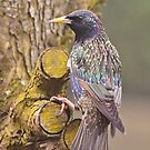 Common Starling by Willem Hoekstra