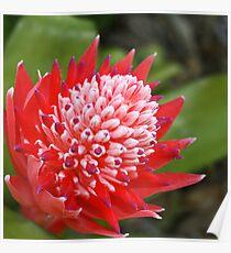 Bromeliad Bloom Poster