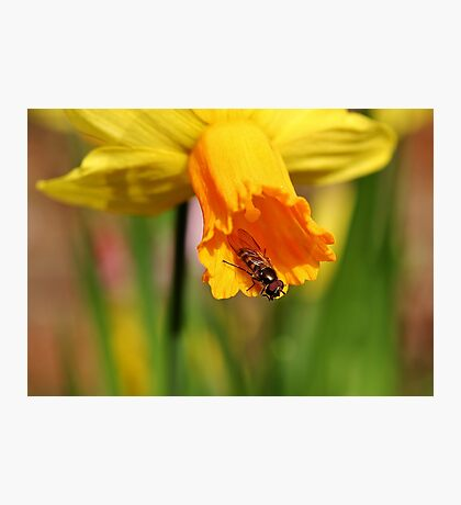 Hover Fly Trumpeting Photographic Print