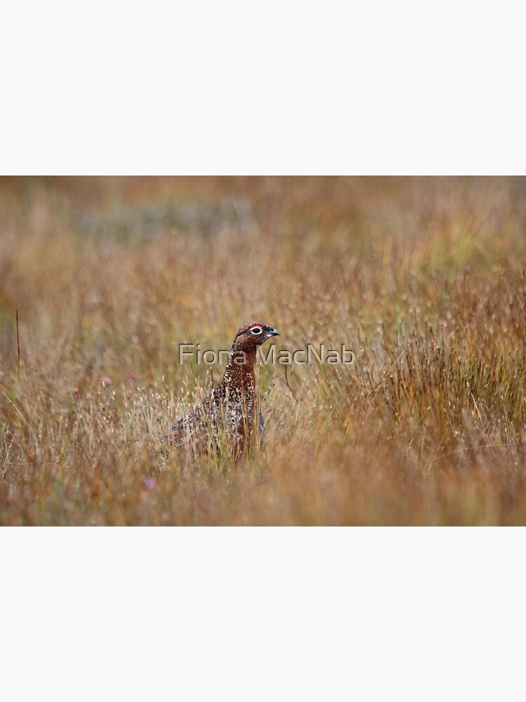 Red grouse by orcadia