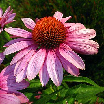 Pink Cone Flower by Bennebula