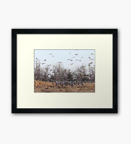 Sandhill Crains Framed Print