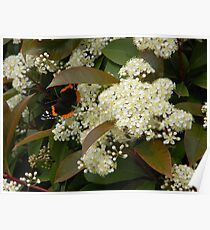 Spectacular Red Admiral Poster