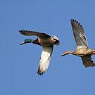Ducks in flight... by Gregg Williams