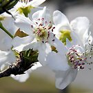 Apple Blossom by Jay Reed