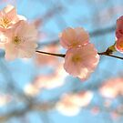 Cherry Blossoms II by Louise Fahy