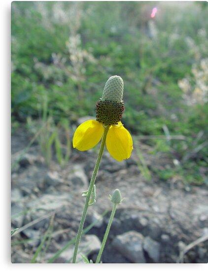 Prairie Coneflower by May Lattanzio
