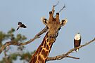 Watching the action by Explorations Africa Dan MacKenzie
