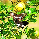 Orchard Swallowtail Butterflys on the wing by Richard  Windeyer