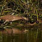 Nankeen Night Heron by smylie