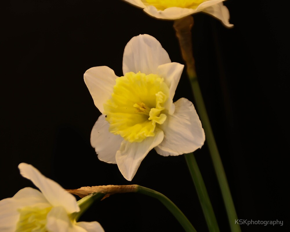 triple daffodils on black  by KSKphotography