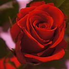 Red Rose by Angi Baker
