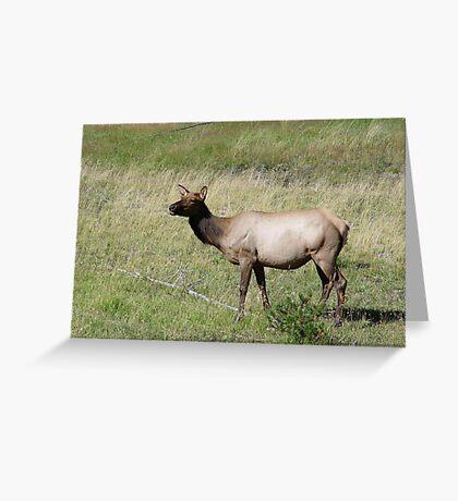 ELK DOE - YELLOWSTONE PARK Greeting Card