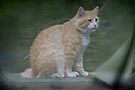 Marvelous Max The Marmalade Cat by MotherNature