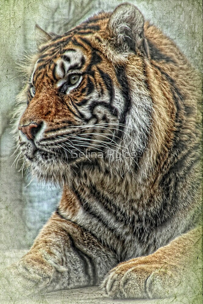 Tiger  by Selina Ryles